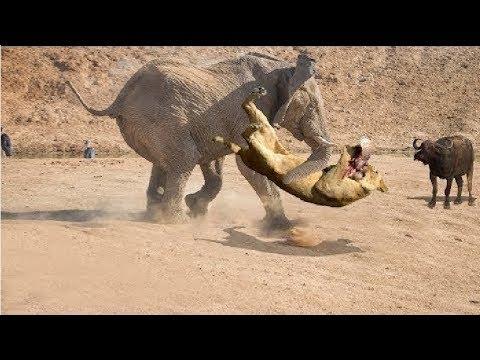 فيل ضخم يواجه قطيعًا من الأسود