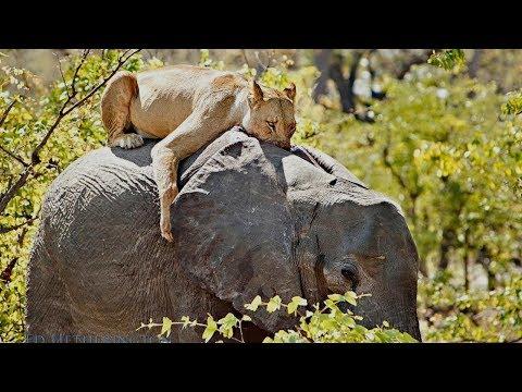 أقوى مقاطع افتراس الاسود للفيلة الأفريقية الضخمة
