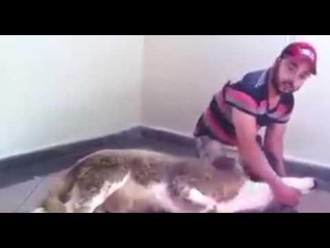 بالفيديو تعلم كيفية ذبح كبش عيد الأضحى