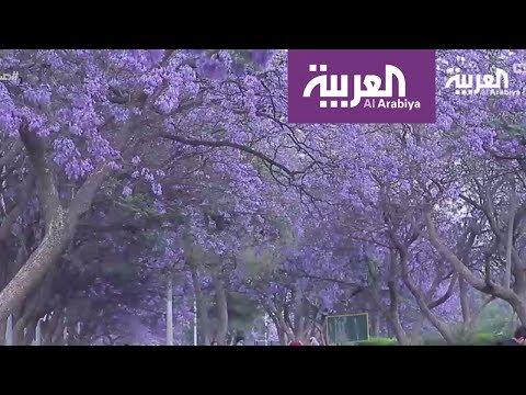 شاهد: مدينة أبها تتزين بأشجار الغاكرندا اللاتينية