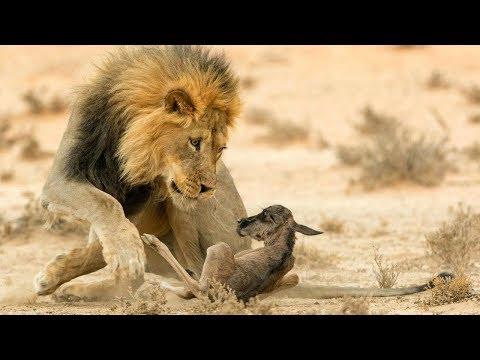 صغار الحيوانات في مواجهة مع أقوى الحيوانات المفترسة
