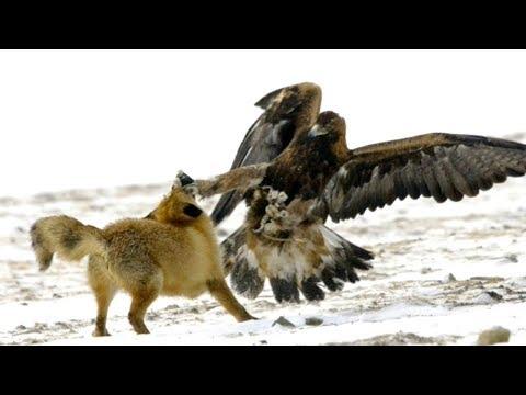 أقوى وأخطر هجمات الصقور على أضخم الحيوانات البرية